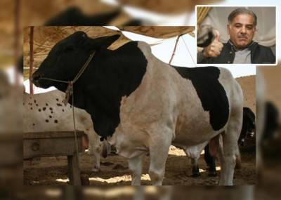 شہبازشریف کو 10 لاکھ کا بیل 20 لاکھ میں دوں گا , بیوپاری کا اعلان