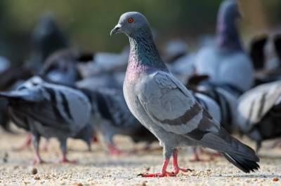 منشیا ت سمگل کرنے والا کبوترمار دیا گیا