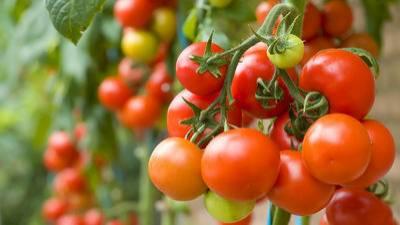 بلوچستان میں فصل کی خرابی کی وجہ سے ٹماٹر کی قیمتیں بڑھ گئیں