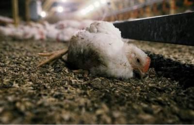 اسلام آباد کے بڑے ہوٹلوں میں مردہ مرغیوں کے گوشت کے استعمال کا انکشاف