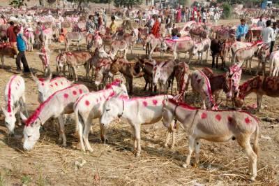 فیصل آباد میں گدھوں کے مقابلہ حسن کا انعقاد،پنجاب بھر سے گدھوں کی شرکت