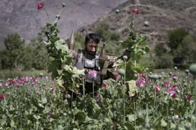 امریکا کی طرف سے لاکھوں ڈالر خرچ کرنے کے باوجود افغانستان میں منشیات کی پیداوار میں اضافہ ہو رہا ہے، نیویارک ٹائمز