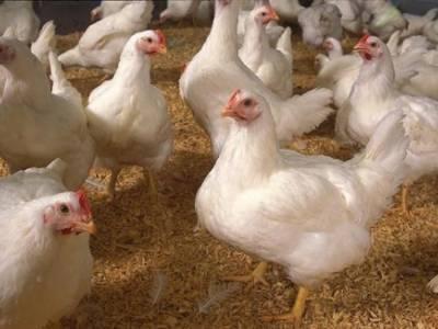 پاکستانی طلبہ نے مرغی کے گوشت کی اصل حقیقت بے نقاب کر دی