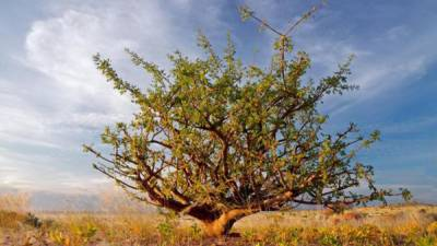 """صحابہ کرام""""البشام' نامی پودے کو زخموں کے علاج کیلئے استعمال کرتے"""