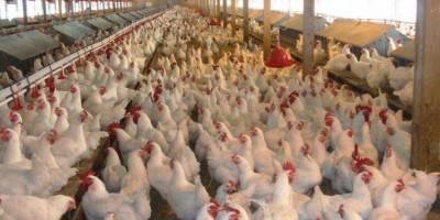 سعودی عرب نے برڈ فلو کے باعث افغانستان سے مرغیوں کی درآمد پر پابندی لگادی