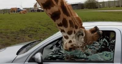 زرافے کی گاڑی سے خوراک چرانے کی دلچسپ ویڈیو سامنے آگئی