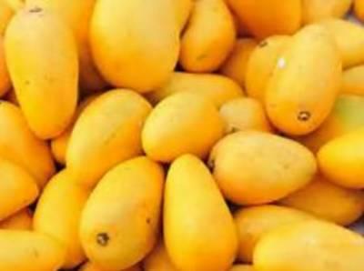 پھلوں کے بادشاہ آم کے بارے میں اہم معلومات جو شاید آپ پہلے نہیں جانتے ہوں گے