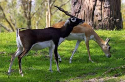 لاہور ہائیکورٹ نے کالے ہرن کے شکار پر پابندی لگا دی