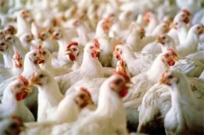 برائلر مرغی کے شوقین افراد کیلئے انتہائی تشویشناک خبر