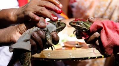 بارش کی دیوی کو راضی کرنے کیلئے بھارت میں مینڈک کی شادی