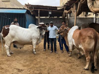 قومی کپتان سرفراز احمد بھی قربا نی کے جانور خرید لائے