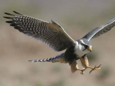 پاکستان نے یو اے ای کو عقاب برآمد کرنے کی اجازت دیدی