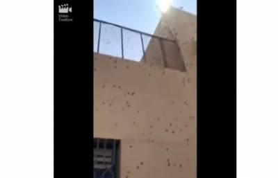 سعودی سکو ل پر جھینگروں کا حملہ