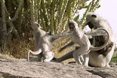 بھارتی ریاست مہاراشڑمیں بندروں کی لڑائی،سکول کی دیوار گرگئی