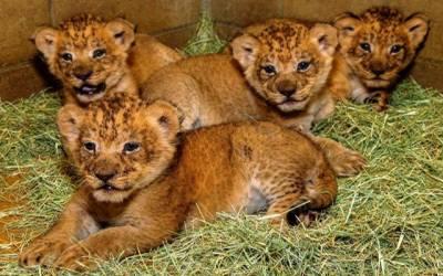 لاہور سفاری چڑیا گھر کا شیر اور چیتے کی بچوں کی نیلامی کا فیصلہ