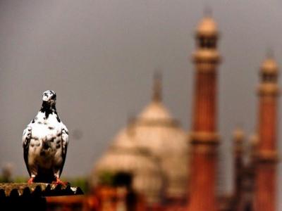 لاہور کی خوبصورتی اور رونق کی علامت جنگلی کبوتروں کی تعداد میں حیران کن کمی