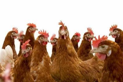 سندھ میں وزیر فشریز نے 20 مرغیاں بانٹنا شروع کر دیں