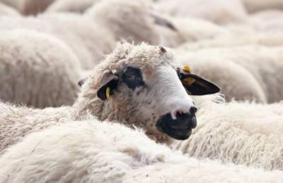 سعودی عرب میں جانوروں میں وبائی امراض کی رپورٹ نہ کرنے پر 10لاکھ ریال جرمانہ
