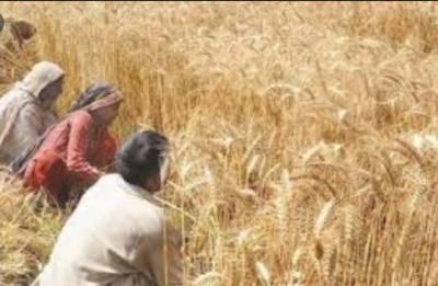 پنجاب میں گندم کی پیداوار میں اضافہ کےلئے 16ارب 51کروڑ80 لاکھ روپے کا منصوبہ شروع