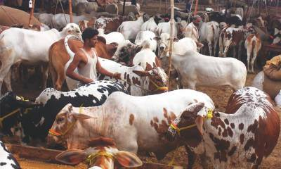 سندھ: ایس او پیز کے تحت مویشی منڈیاں قائم کرنے کی اجازت